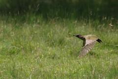 Green Woodpecker (kevin_livesey) Tags: dunhammassey birdwatching bird greenwoodpecker picusviridis