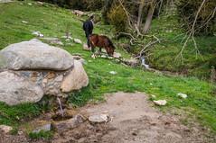 Agua libre y agua canalizada (SantiMB.Photos) Tags: 2blog 2tumblr 2ig lanoudeberguedà catllaràs berguedà otoño autumn caballos horses fuente fountain geo:lat=4219381649 geo:lon=192411751 geotagged castelldelareny cataluna españa