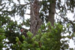 woodpecker (kevin.boyd) Tags: woodpecker bird flora fauna victoria bc canada wildlife avian pileated