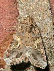 Yellow-striped Armyworm Moth, Spodoptera ornithogalli, Washington Crossing (Seth Ausubel) Tags: noctuidae moth noctuinae prodeniini