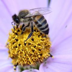 Fleißige Biene (Moanda) Tags: biene insekten natur macro