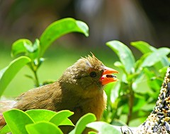 Baby Cardinal (carolynthepilot) Tags: carolynbistline carolynthepilot carolyn carolynsuebistline worldtraveller worldtraveler weather travel trip explore exotic interesting international ironbutterfly islandgetaway bistline bbc beautiful bucketlist bbcsponsored holiday historical adventure amazing destination destinationgetaway dream digital romanticgetaway romantic city postcard usatoday unique silkstockings sky summertime exploring tranquil bestphoto photoshoot photographer world traveller goldenwings picture coastal coast westcoast vacation nature metro retro urban postcards photo mike michael getaway airlines riverfront sexy lake sports steelers