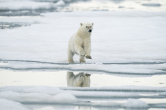 Curious cub (msmedsru) Tags: polar bear cub spitsbergen svalbard norway ice sea summer pack