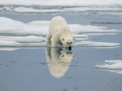 Reflection (msmedsru) Tags: polar bear cub spitsbergen svalbard norway ice sea summer pack