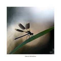 Fou d'ailes (bertholino fabrice) Tags: fabricebertholino caloptéryx libellule odonate macro proxy nikon sigma150macrooshsm carré ailes nature photodenature environnement biodiversité