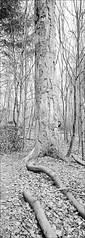 GuckGuck, oder wie heißt der Vogel? (fluffisch) Tags: fluffisch darmstadt bessungen hasselblad xpan panorama 45mmf40 rangefinder messsucher analog film ilford fp4