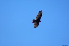 Turkey Vulture (Cathartes aura) (youngwarrior) Tags: valleycenter california bird turkeyvulture cathartesaura flying