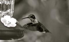 Blurred Bird (ACEZandEIGHTZ) Tags: blackandwhite nikon d3200 monochrome rubythroatedhummingbird flying bokeh feeder bird avian archilochuscolubris backyard birdwatcher