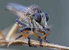 Asilidae (Alik Tarnopolsky) Tags: ngc nikon nature macro sigma150