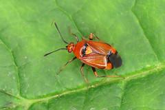 Deraeocoris ruber (erdragonfly) Tags: deraeocorisruber 11july2019
