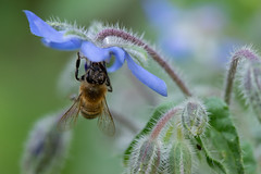 Borago officinalis with a visitor - Hjulkrone (Michael Appel) Tags: borago borage hjulkrone annuals bi bee insekt insects