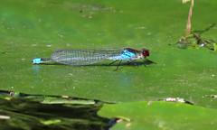 Red-eyed Damselfly - Erythromma najas (erdragonfly) Tags: erythrommanajas 11july2019