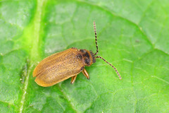 Water-Lily Leaf Beetle - Galerucella nymphaeae (erdragonfly) Tags: galerucellanymphaeae 11july2019