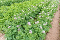 WSU potato research (Washington State Department of Agriculture) Tags: june summer wsdagov washingtonstatedepartmentofagriculture agriculture field potatoes washington washingtonstate wsda
