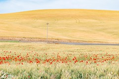 Wheat field with poppies (Washington State Department of Agriculture) Tags: june summer wsdagov washingtonstatedepartmentofagriculture agriculture field poppies washington washingtonstate wsda