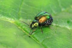 Green Dock Beetle - Gastrophysa viridula (erdragonfly) Tags: gastrophysaviridula 11july2019