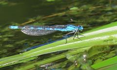 Common Blue Damselfly - Enallagma cyathigerum (erdragonfly) Tags: enallagmacyathigerum 11july2019