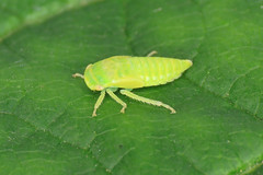 Iassus lanio (erdragonfly) Tags: iassuslanio 11july2019