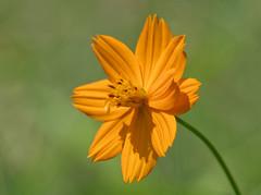 Vibrant Cosmos (G.Sartori.510) Tags: pentaxk1 hdpentaxdfa450mmf56eddcaw cosmos asteraceae