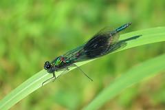 Banded Demoiselle - Calopteryx splendens (erdragonfly) Tags: calopteryxsplendens 11july2019