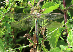 Emperor Dragonfly - Anax imperator (erdragonfly) Tags: anaximperator 11july2019