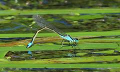 Blue-tailed Damselfly - Ischnura elegans (erdragonfly) Tags: ischnuraelegans 11july2019