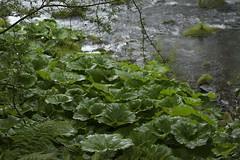 WetButterbur (Tony Tooth) Tags: nikon d7100 nikkor 50mm f18g leaves foliage wet raining butterbur river riverdane stream creek danebridge staffs staffordshire