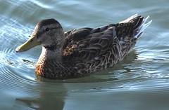 River duck (thomasgorman1) Tags: duck waterfowl water marina arizona wildlife portrait az