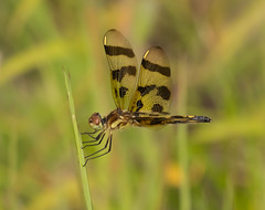 Halloween Pennant (vischerferry) Tags: halloweenpennant dragonfly insect celithemiseponina bokeh