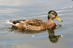 More ducking reflections (_chloechappell) Tags: duck water bird pond canon canoncamera light animal wildlife virginiawaters