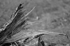 RentAsunder (Tony Tooth) Tags: nikon d7100 sigma 70mm tree fallentree ripped rentasunder danebridge staffs staffordshire bw blackandwhite monochrome