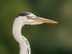 Grey heron (PhotoLoonie) Tags: waterbird wadingbird greyheron heron bird wildlife nature