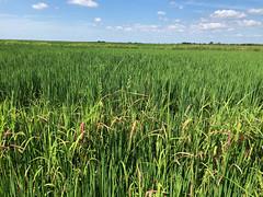 7-11-2019-Rice-DabbsFarm (uacescomm) Tags: