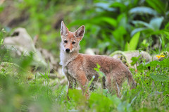 Coyote pup (theviewfinder) Tags: nikon d3s midhunjohnthomas california coyote wildlife wildlifephotography