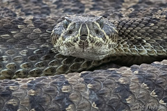Prairie rattlesnake (Hilary Bralove) Tags: colorado rattlesnake snake snakes reptiles nature nikon wildlife prairierattlesnake