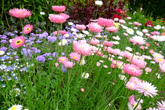 NYMANS July_5324 (Adam Swaine) Tags: nationaltrust nymans nymanssussex flora flowers petals beautiful naturelovers nature sussex sussexgardens pinkgreen england english britain british gardens garden uk ukcounties counties countryside 2019