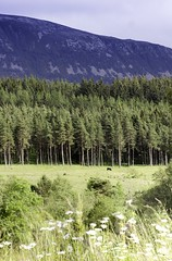Cairngorms Meadows (james_savage95) Tags: scotland mountain meadow tree forest flwoers foreground uk cairngorms national park summer green hill
