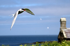 Arctic Tern in Flight (Russ Argles) Tags: arctic tern bird flight fish food national trust farne islands northumberland nature canon 70d eos