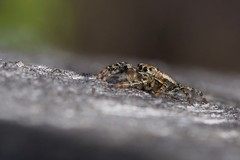jeune mâle d'araignée sauteuse (marpissa muscosa) (pierre.pruvot2) Tags: france pasdecalais maraisdeguînes chemindestêtards panasonic lumixg9 olympus60mmmacro arthropodes salticidés arachnides araignéessauteuses jumpingspider macro