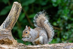 MJE_6906 (Martin Lamb) Tags: vrzoom80400mmf4556gifed garden greysquirrel northernireland
