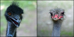Chester and Bane (MTSOfan) Tags: chester emu bane ostrich diptych different largebirds