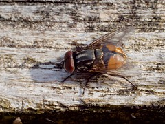 Mouche d'étable (musca autumnalis) mâle (pierre.pruvot2) Tags: france pasdecalais maraisdeguînes chemindestêtards panasonic lumixg9 olympus60mmmacro arthropode insecte dipère mouche fly