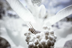 BEHOLD!! (Brian M Hale) Tags: monarch butterfly caterpillar insect closeup close up ir infrared 720nm kolarivision kolari vision outside outdoors nature wildlife brian hale brianhalephoto newengland new england usa boylston ma mass massachusetts tower hill botanic botanical garden