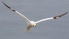 Gannet (cliveyjones) Tags: gannet bemptoncliffs rspbbemptoncliffs wildlife nature