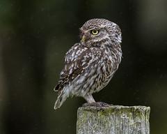 Little Owl (Bill Richmond) Tags: littleowl athenenoctua strigiformes birdsofprey durhammoors nikon500f4 nikond500 intherain