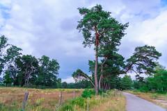 Kiefern (KaAuenwasser) Tags: kiefern kiefer baum bäume weg feldweg zaun natur wald wiesen wiese landschaft