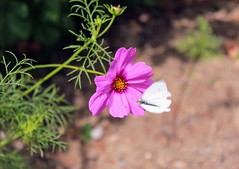 together (alyna16) Tags: butterfly flower flowers cosmos summer garden nature outside fly