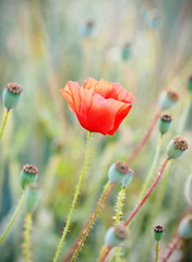 Poppy (kckelleher11) Tags: olympus omd em1 poppy field red green 40150mm f28 ec14 july 2019 ireland