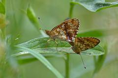 Luhatäpik; Brenthis ino; Lesser Marbled Fritillary (urmas ojango) Tags: lepidoptera liblikalised insecta putukad insects butterfly koerlibliklased nymphalidae luhatäpik brenthisino lessermarbledfritillary
