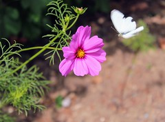en vol (alyna16) Tags: butterfly flower flowers cosmos summer garden nature outside fly